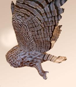 detail-great-grey-vole